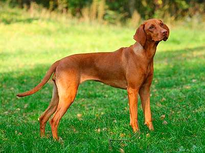 Hungarian Short-haired Pointing Dog